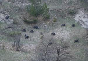 Wilderness IT - Documenti - Una sonfitta per l orso marsicano - Cinghiali 002