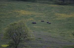 Wilderness IT - Documenti - Una sonfitta per l orso marsicano - M Novelli - 001