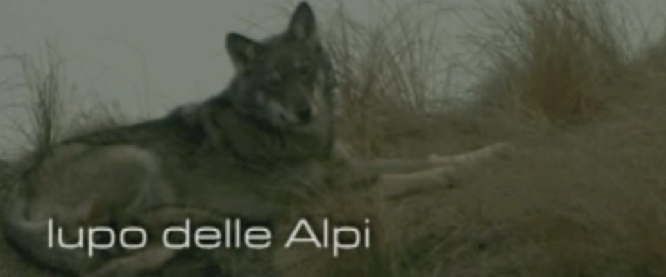 Wilderness IT - I NOSTRI VIDEO - IL LUPO NELLE ALPI - 1° parte